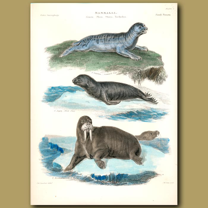 Antique print. Common Seal, Black Otary and Arctic Walrus