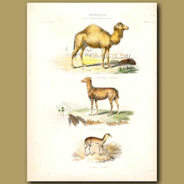 Antique print. Dromedary, Llama and Java Musk Deer