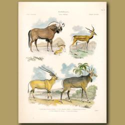 Common Antelope , Egyptian Antelope, Royal Antelope
