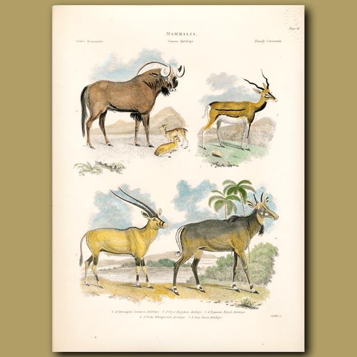 Antique print. Common Antelope , Egyptian Antelope, Royal Antelope