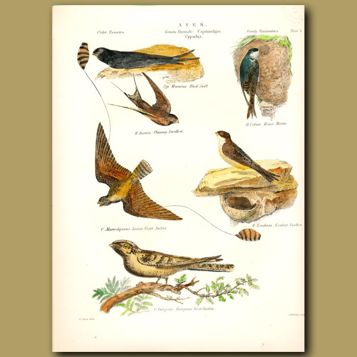 Antique print. Black Swift, House Martin, Chimney Swallow