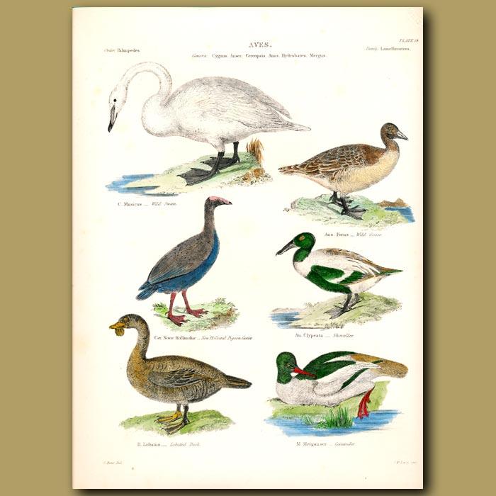 Antique print. Wild Swan, Wild Goose, New Holland Pigeon Goose