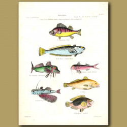 Perch, Common Weever, Red Gurnard, Smaller Redbeard, Saddlefish