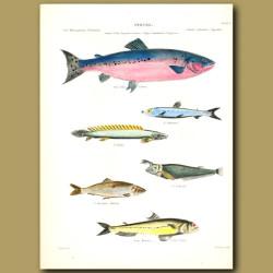 Salmon, Herring and Saury