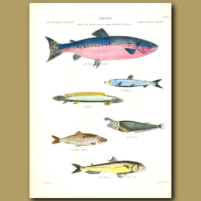 Antique print. Salmon, Herring and Saury