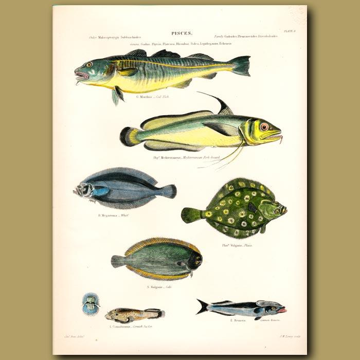 Antique print. Cod Fish, Mediterranean Fork-beard, Whiff, Plaice
