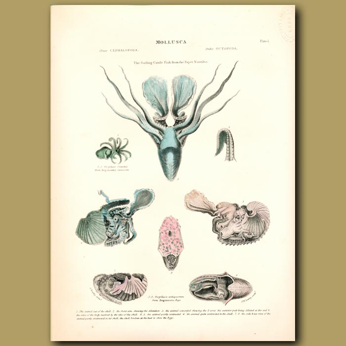 Antique print. The Sailing Cuttlefish from the Paper Nautilus