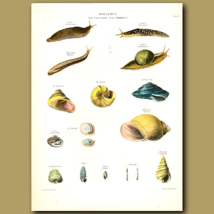 Antique print. Snails and Slugs