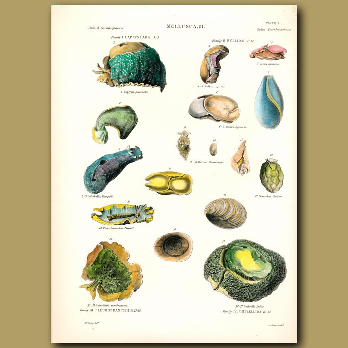 Antique print. Sea Slug or Sea Hare, Bulla Shells and Sea Snails