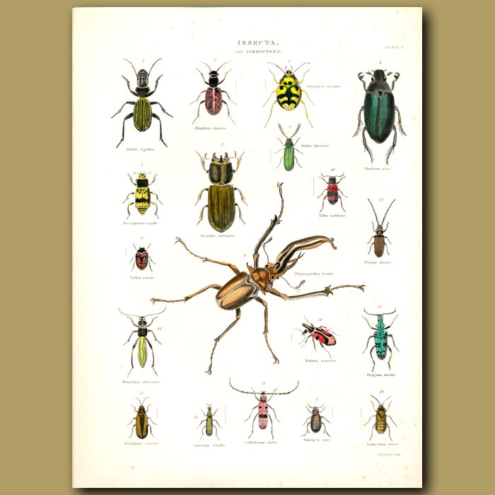 Antique print. Stag Beetle, Water Beetle, Ground Beetles and others