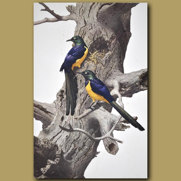 Antique print. Golden-breasted Starling