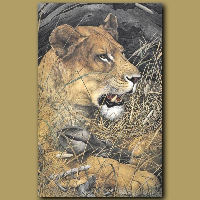 Antique print. Lion