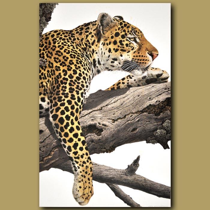 Antique print. Leopard
