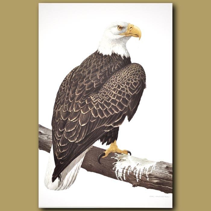 Antique print. Bald Eagle