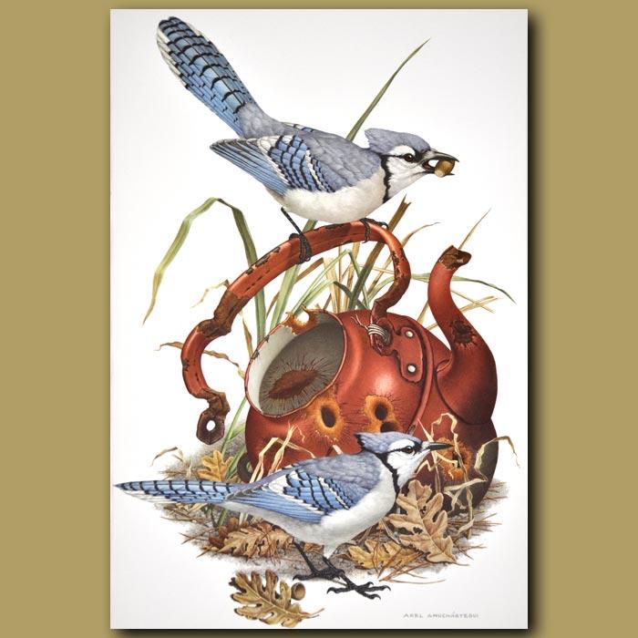 Antique print. Blue Jay