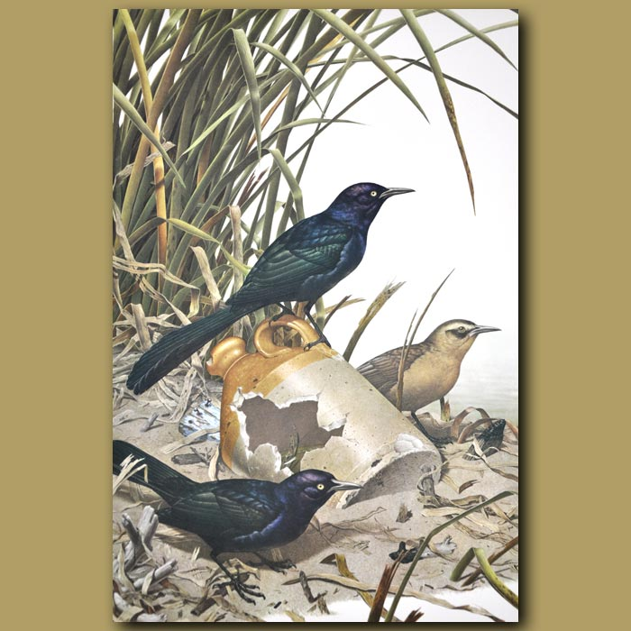 Antique print. Boat-tailed Grackle