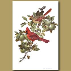 Cardinal Birds Eating Apples