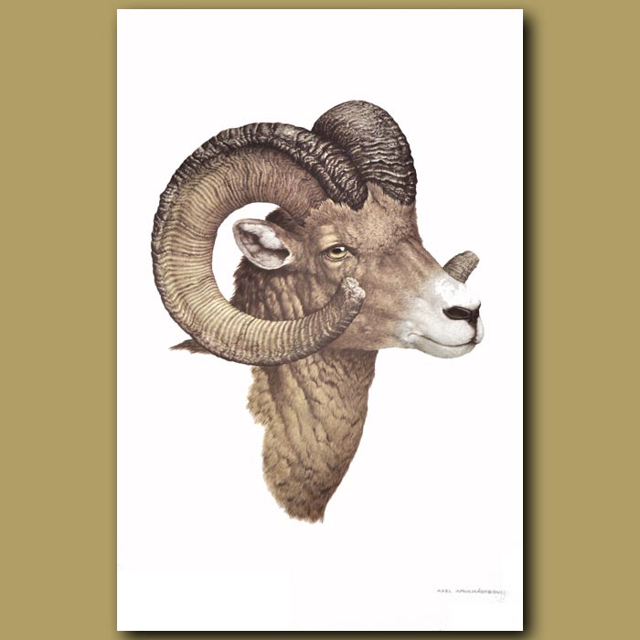 Antique print. Bighorn Sheep