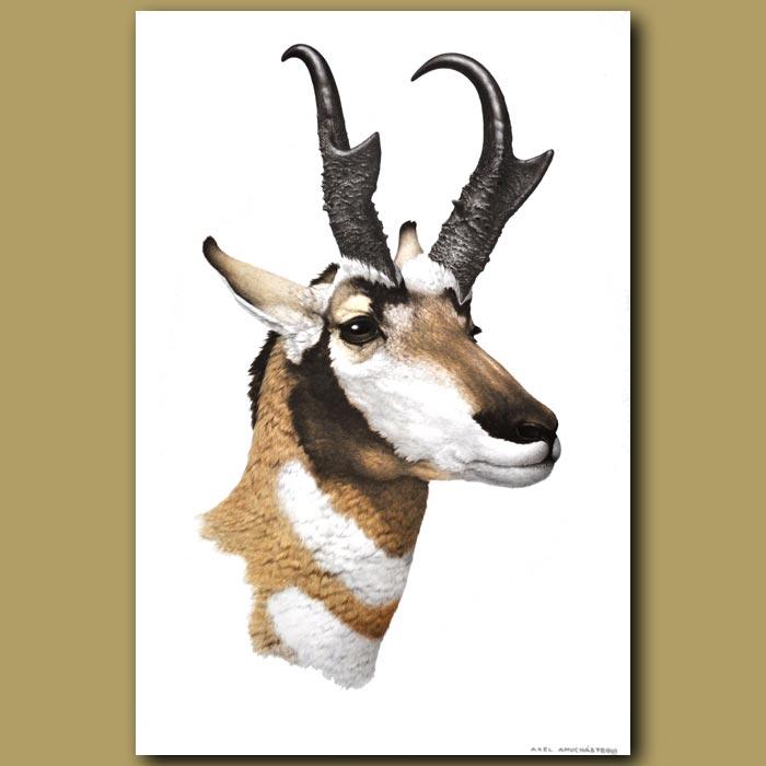 Antique print. Pronghorn Antelope