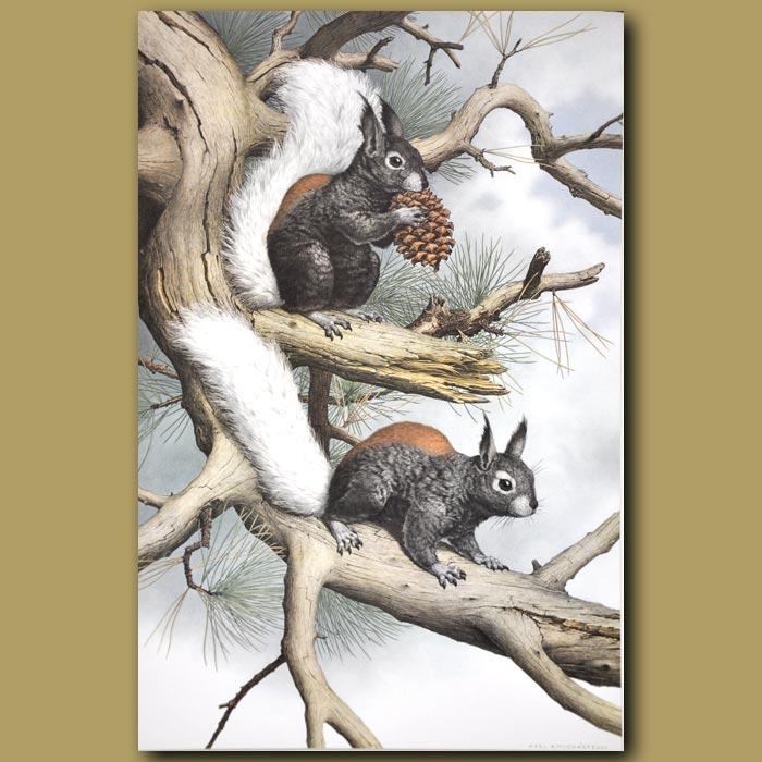 Antique print. Kaibab Squirrel