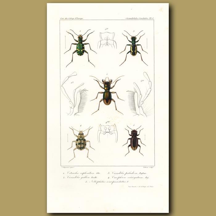 Antique print. Beetles (Tetracha, Cicindela, Cicindela, Omophron, Notiophilus)