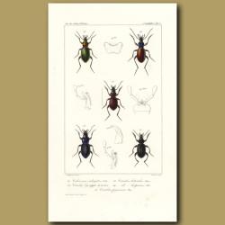 Beetles (Calosoma, Carabus, Carabus, Hispanus, Carabus)