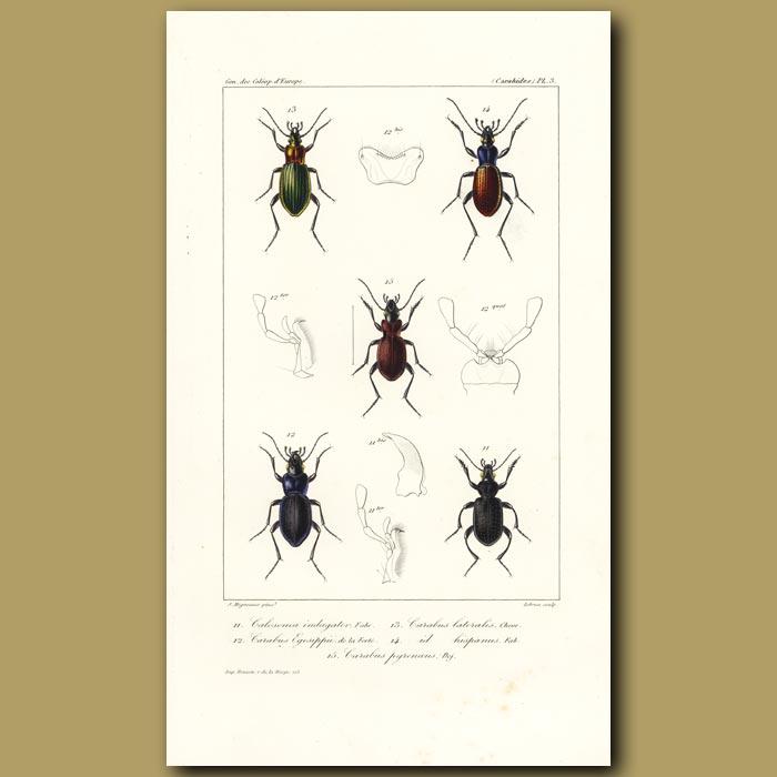 Antique print. Beetles (Calosoma, Carabus, Carabus, Hispanus, Carabus)