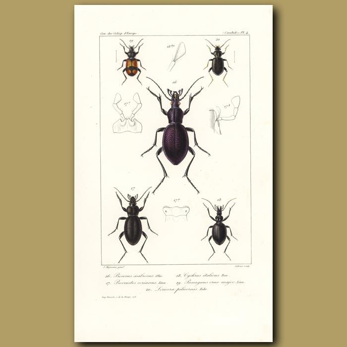 Antique print. Beetles (Procerus, Procrustea, Cychrus, Panagoeus, Loucera)
