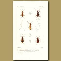 Beetles (Anillus, Anophthalmus, Trechus, Trechus)