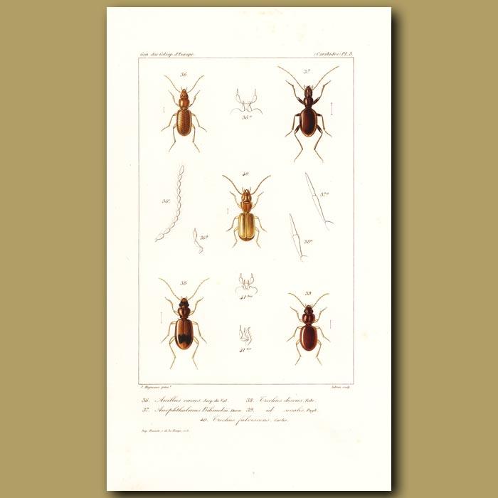 Antique print. Beetles (Anillus, Anophthalmus, Trechus, Trechus)