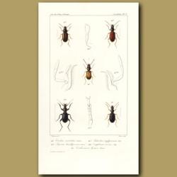 Beetles (Trechus, Pogonus, Patrobus, Omphreus, Cardiomera)
