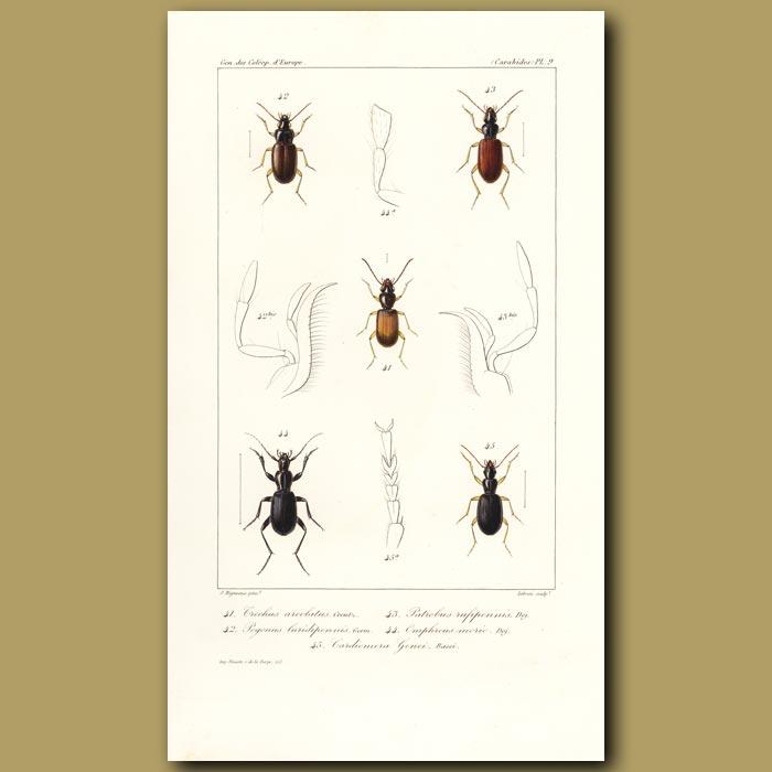 Antique print. Beetles (Trechus, Pogonus, Patrobus, Omphreus, Cardiomera)