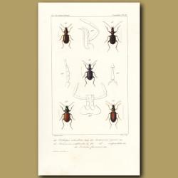 Beetles (Olisthopus, Anchomenus, Anchomenus, Sexpunctatus, Dolichus)