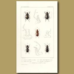 Beetles (Acorius Metallescens, Habrus, Acinopus, Amblystomus)