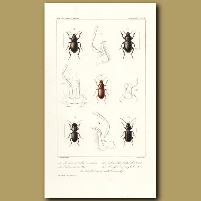 Antique print. Beetles (Acorius Metallescens, Habrus, Acinopus, Amblystomus)