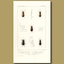Beetles (Bradycellus, Stenolophus, Acupalpus, Harpalus, Harpalus)