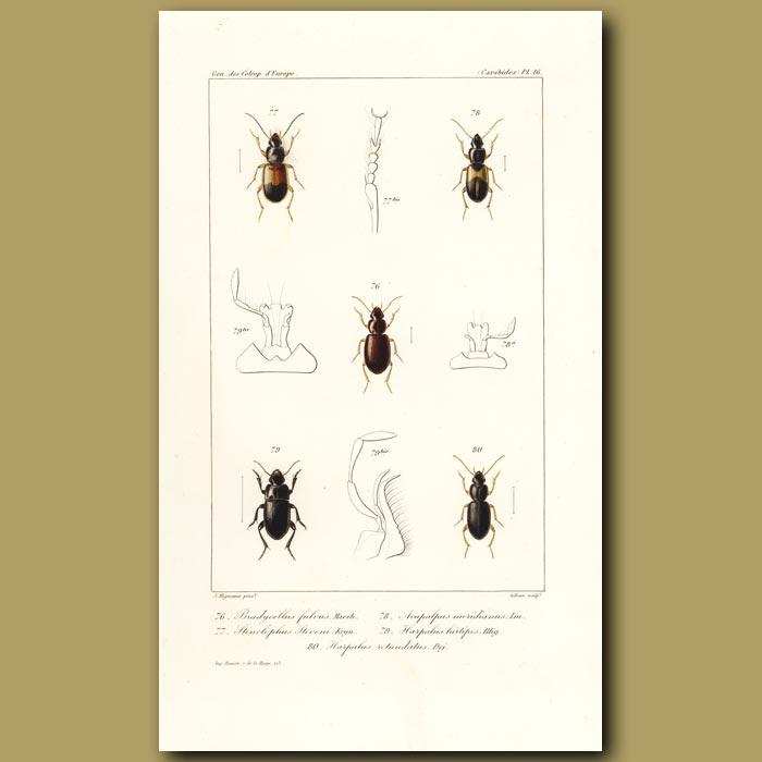 Antique print. Beetles (Bradycellus, Stenolophus, Acupalpus, Harpalus, Harpalus)