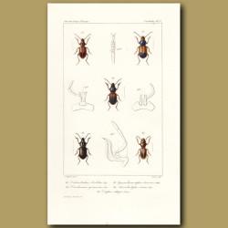 Beetles (Dicheirotrichus, Diachromus, Gymandromorphus, Anisodatylus,)