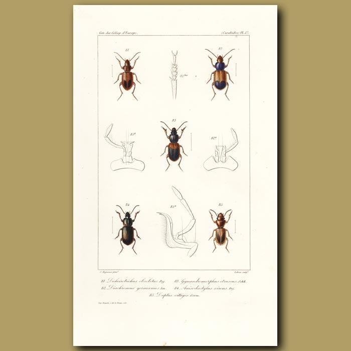 Antique print. Beetles (Dicheirotrichus, Diachromus, Gymandromorphus, Anisodatylus,)