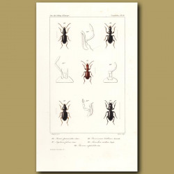 Beetles (Stomis, Agelaea, Broscosoma, Miscodera, Broseus)