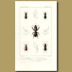 Beetles (Searites, Dyschirius, Clivina, Apotomus, Carterus)