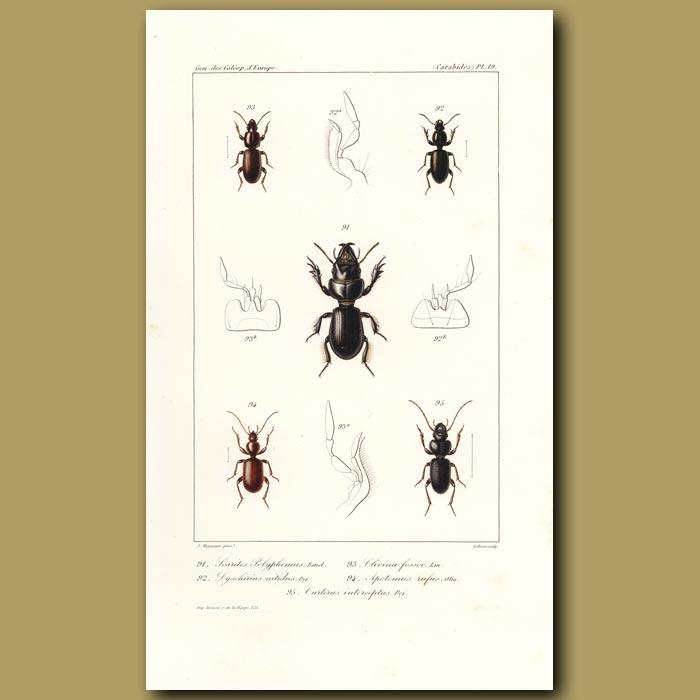 Antique print. Beetles (Searites, Dyschirius, Clivina, Apotomus, Carterus)