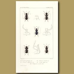 Beetles (Carterus, Ditomus, Aristus, Pachycarus)