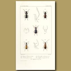 Beetles (Siagona, Nomius, Odacantha, Drypta, Huphium)