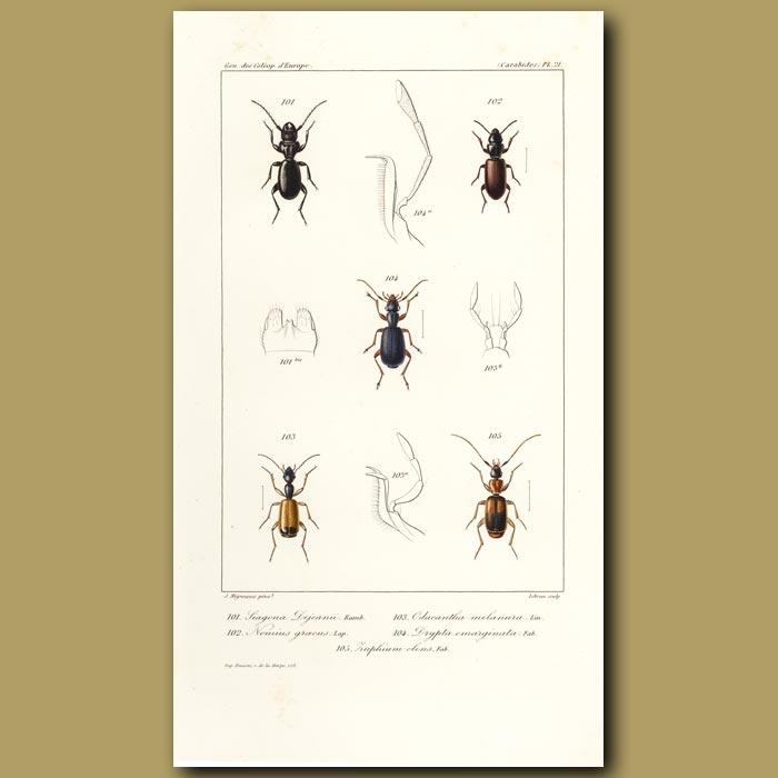 Antique print. Beetles (Siagona, Nomius, Odacantha, Drypta, Huphium)