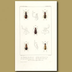 Beetles (Polystichus, Cymindis, Cymindis, Singilis, demetrias)