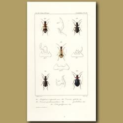 Beetles (Aetophorus Imperialis, Dromius, Lebia)