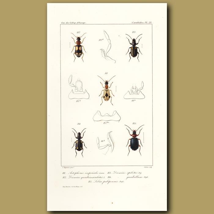 Antique print. Beetles (Aetophorus Imperialis, Dromius, Lebia)