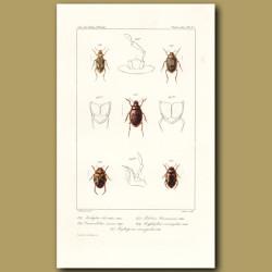Beetles (Haliplus, Cnemidotus, Pelobius, Hyphydrus, Hydroporus)