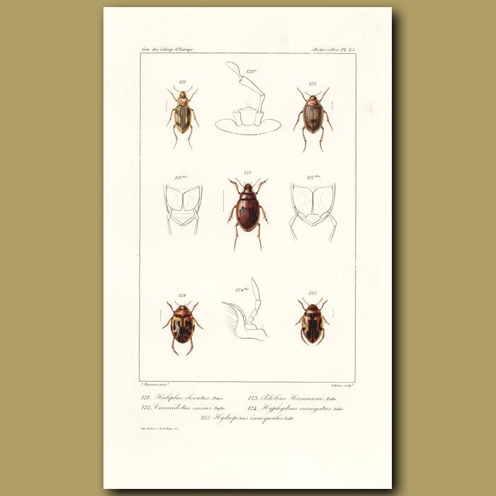 Antique print. Beetles (Haliplus, Cnemidotus, Pelobius, Hyphydrus, Hydroporus)